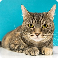 Adopt A Pet :: Sandy - Chandler, AZ
