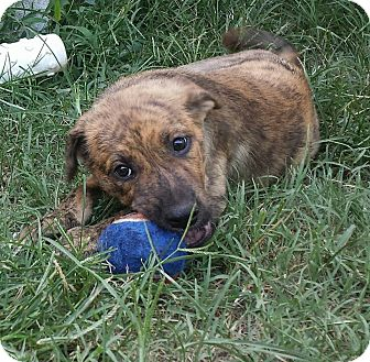 Adopt A Pet :: Buckwheat-IN TRAINING  - Snow Hill, NC