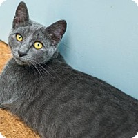 Russian Blue Cat for adoption in Los Angeles, California - Lizzy