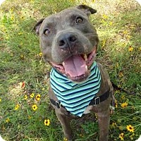 Pit Bull Terrier Mix Dog for adoption in Austin, Texas - Grizzle