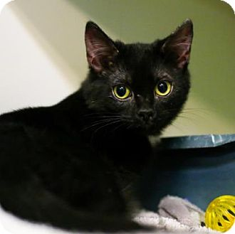 Domestic Shorthair Kitten for adoption in Austin, Texas - Licorice