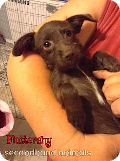 Terrier (Unknown Type, Small) Mix Puppy for adoption in Rosamond, California - Fluttershy