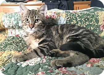 American Shorthair Kitten for adoption in Barrington, New Jersey - Madeline