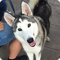 Husky Dog for adoption in Dana Point, California - Elvis