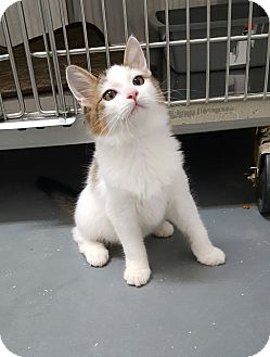 Domestic Mediumhair Kitten for adoption in Umatilla, Florida - Sprite