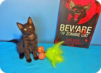 Maine Coon Kitten for adoption in Glendale, Arizona - Chewbacca