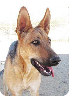 German Shepherd Dog Mix Dog for adoption in San Tan Valley, Arizona - Bailey