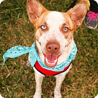 Australian Shepherd/Australian Cattle Dog Mix Dog for adoption in San Antonio, Texas - Lucy