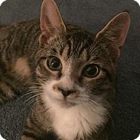 Domestic Shorthair Cat for adoption in Virginia Beach, Virginia - Sherman