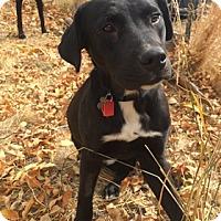 Adopt A Pet :: Amadeus - Broomfield, CO