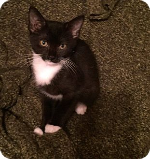 Domestic Shorthair Kitten for adoption in MARION, Virginia - Sabina (in Foster)