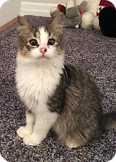 Domestic Longhair Kitten for adoption in Blasdell, New York - Cooper