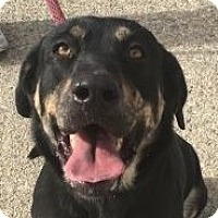 Shepherd (Unknown Type)/Rottweiler Mix Dog for adoption in Canoga Park, California - Harley