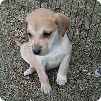Adopt A Pet :: Stella - Manchester, NH
