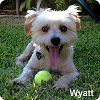 Adopt A Pet :: Wyatt - Lake Forest, CA