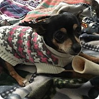 Chihuahua Dog for adoption in Livonia, Michigan - Baby Girl
