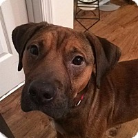 Adopt A Pet :: Copper - Washington, DC