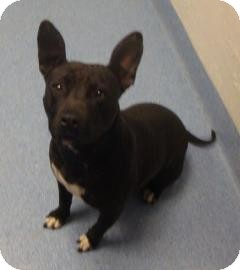 American Pit Bull Terrier Mix Dog for adoption in Gainesville, Florida - Sheba