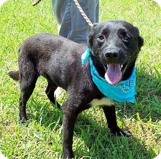 Labrador Retriever/Australian Kelpie Mix Dog for adoption in Glastonbury, Connecticut - BOOMER/Summer Special Pricing