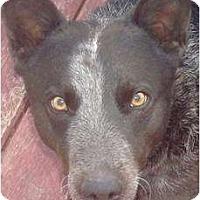 Adopt A Pet :: Dillon - Adoption pending - Phoenix, AZ