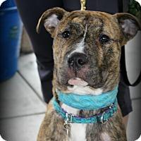 Adopt A Pet :: Tank - Sinking Spring, PA