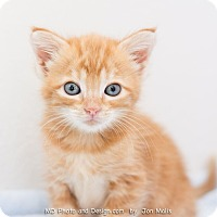 Adopt A Pet :: Frankie - Fountain Hills, AZ