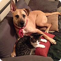 Adopt A Pet :: SAMSON - URGENT! - Austin, TX