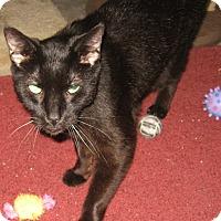 Adopt A Pet :: Puma - brewerton, NY