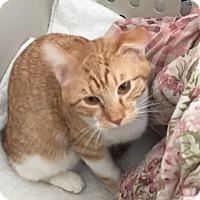 Domestic Shorthair Cat for adoption in Colorado Springs, Colorado - Olympus