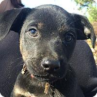 Adopt A Pet :: Colt AD 02-13-16 - Preston, CT