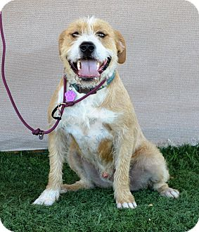 Terrier (Unknown Type, Medium)/Retriever (Unknown Type) Mix Dog for adoption in Sherman Oaks, California - Bentley