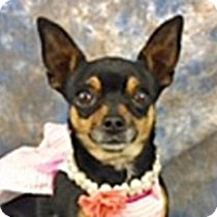 Chihuahua Mix Dog for adoption in Wildomar, California - Wasabi