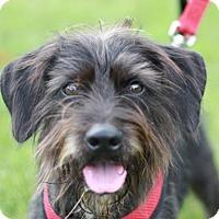 Adopt A Pet :: Sammy - ADOPTION IN PROGRESS - Nanuet, NY