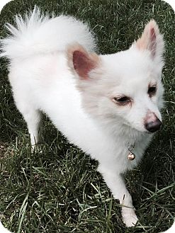 Pomeranian Mix Dog for adoption in Naperville, Illinois - Rizzo