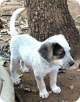 Rottweiler/Australian Cattle Dog Mix Puppy for adoption in Blanchard, Oklahoma - Nymeria