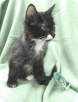 Domestic Mediumhair Kitten for adoption in Las Vegas, Nevada - Pepsi (kitten)