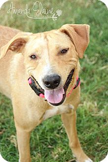 Labrador Retriever/Retriever (Unknown Type) Mix Dog for adoption in Aubrey, Texas - Jenny