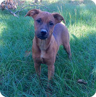 Redbone Coonhound Mix Puppy for adoption in Plano, Texas - MJ