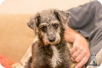 Miniature Schnauzer Mix Dog for adoption in Santa Fe, Texas - Sassy