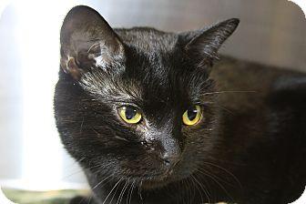 Domestic Shorthair Cat for adoption in Sarasota, Florida - Ranger