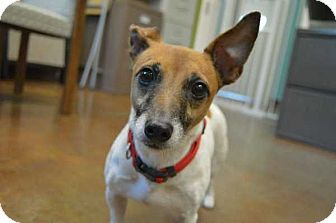 Jack Russell Terrier Mix Dog for adoption in Mebane, North Carolina - Dolly Parton