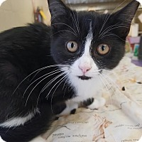 Domestic Shorthair Kitten for adoption in Havelock, North Carolina - Penny