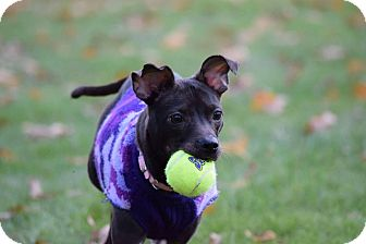 Terrier (Unknown Type, Small) Mix Dog for adoption in Muskegon, Michigan - Poppy