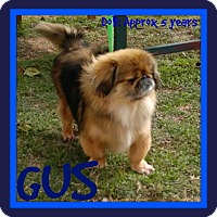 Adopt A Pet :: GUS - White River Junction, VT