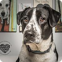 Adopt A Pet :: Pinto Beans - Inglewood, CA