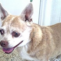 Adopt A Pet :: Little Miss Yapper - Rockaway, NJ