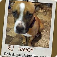 Adopt A Pet :: SAVOY - ADOPTION PENDING - Lincoln, NE