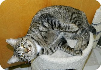 Domestic Shorthair Cat for adoption in Chesapeake, Virginia - Bentley