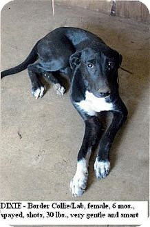 Border Collie/Labrador Retriever Mix Puppy for adoption in Moulton, Alabama - Dixie