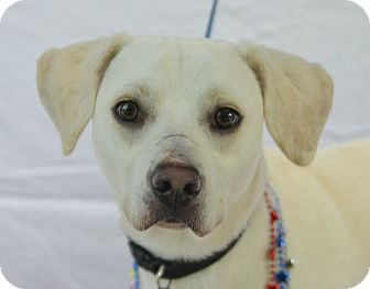 Labrador Retriever Mix Dog for adoption in Plano, Texas - Joe